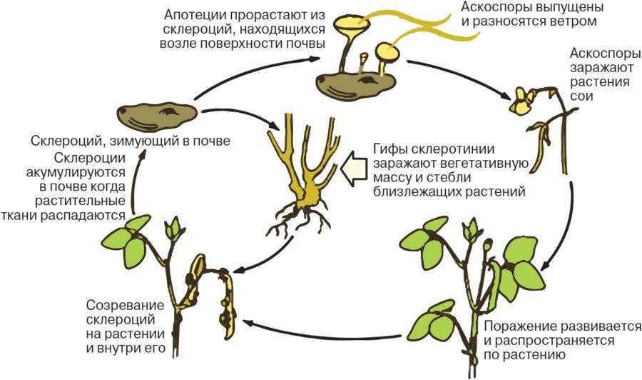 Рис. 5. Цикл развития белой гнили сои (по данным Американского фитопатологического общества)