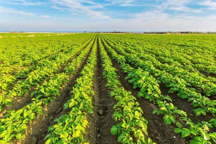 Вплив мінерального живлення на якість і врожайність картоплі