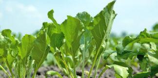 Особливості впливу бур'янів на посіви буряків