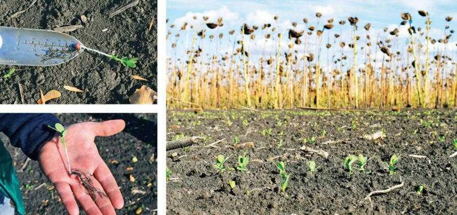 Розвиток озимого гороху восени станом на 5 жовтня. Оптимальним вважається входження рослин у зиму в стадії 5–6 листків