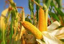 Вирощування кукурудзи на насіння