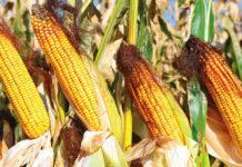 Проблема мікотоксинів у кукурудзі