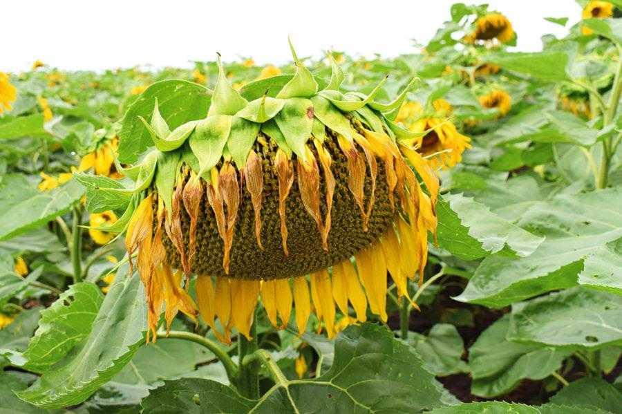 Найбільший вплив на врожайність соняшнику з досліджуваних чинників мав гібридний склад – 35,1%. Застосування добрив забезпечило 31,2% питомої ваги продуктивності рослин, а вплив густоти стояння рослин – 22,9%