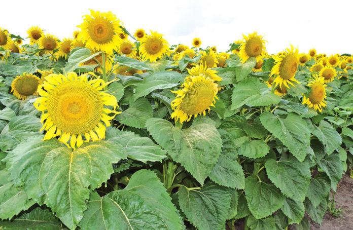 Продуктивність гібридів соняшнику залежно від густоти стояння рослин та систем удобрення