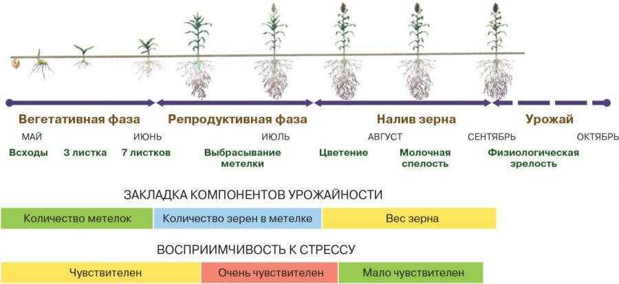 Рис. 1. Цикл роста сорго, компоненты урожайности и чувствительность к воздействию воды
